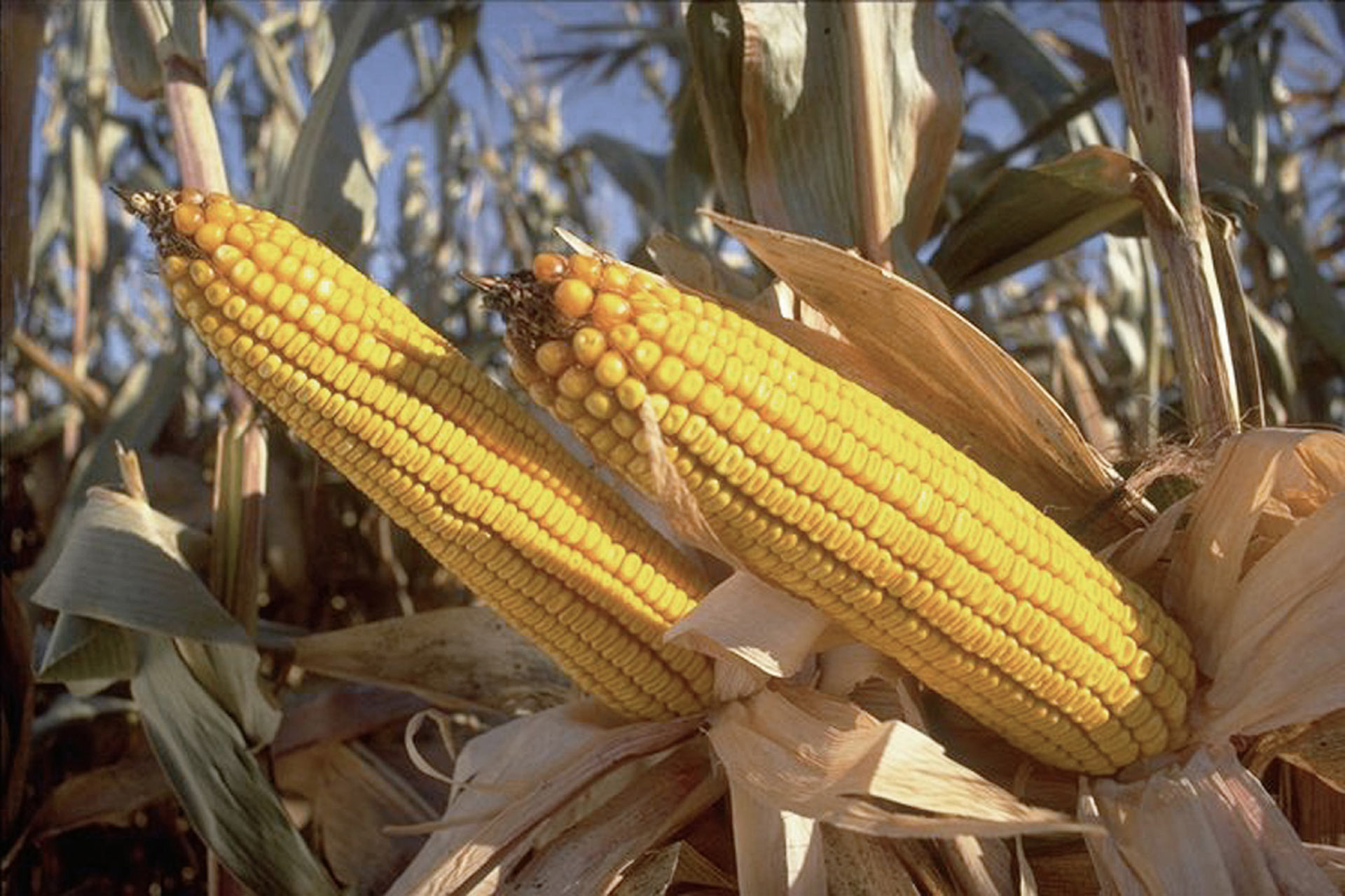 Bioengineered corn